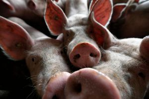 Thiếu hụt thịt lợn, người Trung Quốc chuyển sang thịt chó và thịt thỏ