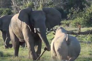 CLIP: Màn đối đầu cực kỳ gay cấn giữa voi và tê giác