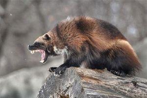 Top động vật cục tính nhất hành tinh, chớ dại 'cà khịa'