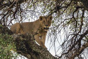 Ở đất nước này, con người và sư tử vẫn chung sống hòa thuận