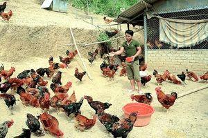 Mô hình liên kết phát triển gà thả đồi