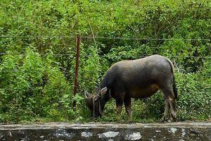 Chăn thả gia súc ở khu vực kênh dẫn nước nhà máy nước sạch sông Đà
