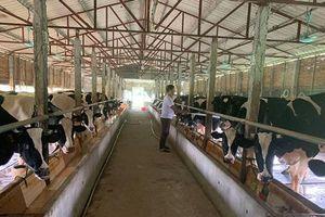 Vĩnh Phúc: Liên kết nuôi bò sữa, quê nghèo đổi đời