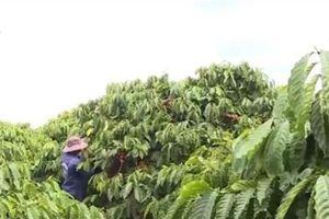 Vị thế của cà phê Việt Nam trên thị trường cà phê thế giới