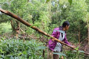 Quảng Nam: Điều tra vụ kẻ xấu chặt hạ hơn 4.000 cây keo