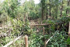 Điều tra việc hơn 4000 cây keo trên 2 năm tuổi bị kẻ xấu chặt phá ở Quảng Nam