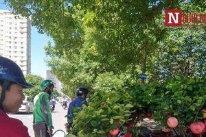 Vạch trần thủ đoạn tinh vi làm giả cây táo Mỹ bán giá 'cắt cổ' ở Hà Nội