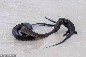 Kinh hãi rắn độc nuốt chửng kỳ đà cỡ lớn trên bãi biển