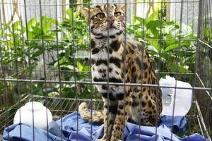 Phát hiện mèo rừng quý hiếm, có bộ lông tuyệt đẹp ngay tại TP HCM