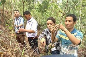Quảng Nam: Đồng bào Cơ Tu thoát nghèo từ cây dược liệu quý ba kích tím