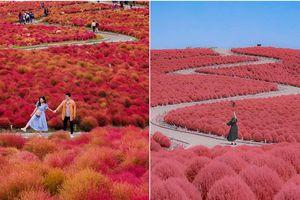 Đẹp nhất Nhật Bản mùa này chính là đồi cỏ Kochia đỏ rực, du khách đua nhau check-in đông không thấy lối đi
