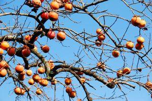 Mùa hồng vàng trĩu quả ở Trung Quốc