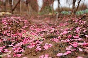 Thoáng cánh hoa rơi nhòa giấc mộng…