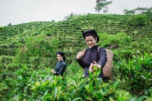 Bắc Kạn: Thương mại hóa sản phẩm chè Shan tuyết