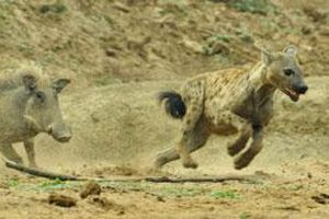 Lợn rừng 'cáu bẳn' điên cuồng đuổi húc linh cẩu