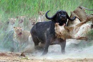 Trâu rừng giận dữ húc thủng bụng sư tử để trả thù
