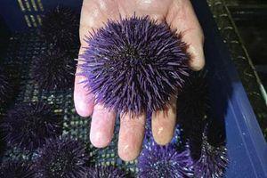 Nhím biển sinh sản vô tội vạ, đe dọa bờ biển nước Mỹ