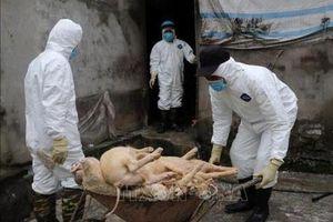 Bắt tạm giam cán bộ xã khai khống lợn bị dịch tả để nhận tiền hỗ trợ