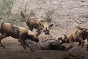 CLIP: Chó hoang đại chiến linh cẩu
