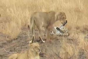 'Nín thở' xem báo hoa mai trốn thoát khỏi sự truy sát bầy sư tử