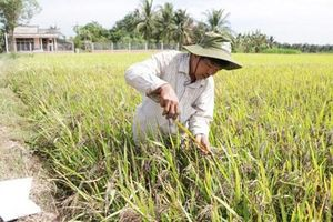 Bến Tre: Cựu chiến binh khởi nghiệp với cây lúa