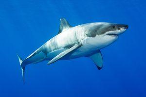 Vì sao cá mập không có xương?
