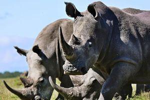 Chế sừng tê giác giả từ lông ngựa để ngăn nạn săn trộm