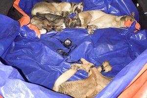 Bắt 3 kẻ đi ôtô trộm chó, hối lộ cảnh sát 15 triệu
