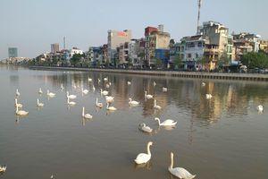Hải Phòng: Có bao nhiêu đôi Thiên Nga trên sông Tam Bạc?