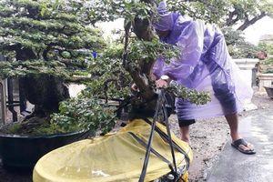 Hàng loạt cây cảnh 'siêu độc', tiền tỷ được chủ vườn hối hả tránh bão