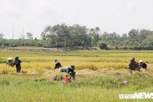 Bức tranh mùa lúa vàng trên vùng đất đỏ bazan