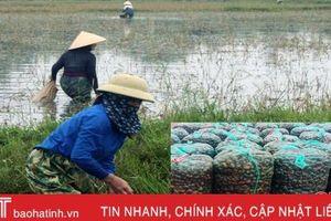Giải mã hiện tượng nông dân Hà Tĩnh gom ốc bươu vàng bán cho thương lái