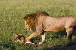 Sư tử chơi đùa linh dương con tội nghiệp tới chết
