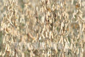 Giá các loại nông sản thế giới đồng loạt giảm trong tuần qua