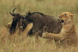 Linh dương đầu bò tăng tốc vượt qua ba con sư tử