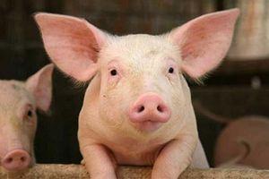 Giá thịt heo hôm nay 12/11: Khan hiếm, giá tiếp tục bị đẩy sát mốc 80.000/kg