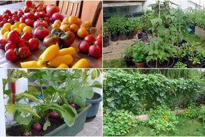 Tận dụng mảnh đất nhỏ phía sau nhà, người đàn ông đảm đang trồng đủ loại rau quả sạch cho cả nhà thưởng thức