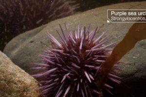 Thiên nhiên kì thú: Xem nhím biển lộn ngược từ trong ra ngoài để… tái sinh