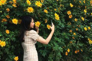 Hoa dã quỳ nở rộ kéo dài 20 km