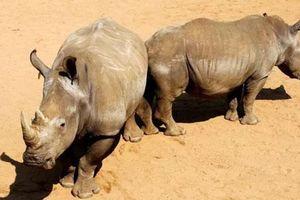 Chiến dịch thu thập móng tay người thay cho sừng tê giác