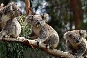 Australia nỗ lực bảo vệ gấu koala trong thảm họa cháy rừng
