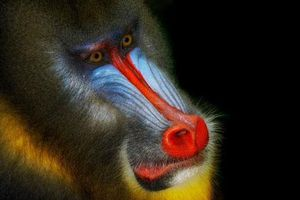 Độc đáo bộ ảnh cận cảnh về khỉ mặt chó