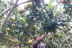 Bắc Giang: Vườn bưởi theo hướng hữu cơ vào vụ Tết