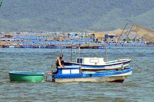 Tôm hùm Phú Yên rớt giá khiến người nuôi gặp khó khăn