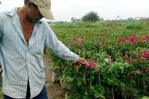 Nông dân Trà Vinh chuẩn bị hơn 300.000 chậu hoa phục vụ Tết
