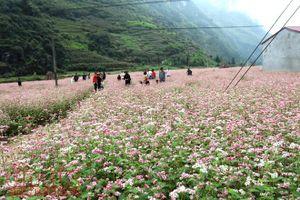 Khai mạc lễ hội hoa tam giác mạch 'Sắc hồng Cao nguyên đá'