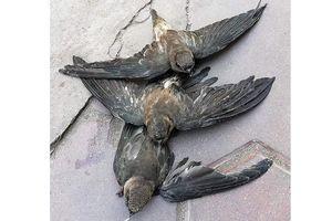 Lan rộng tình trạng bẫy chim yến