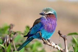 Thích thú loài chim xinh đẹp tuyệt mỹ nhưng cực kỳ thủy chung