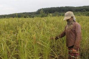 Niềm vui trở lại trên cánh đồng làng Tung