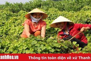 Có 5.900 ha cây trồng vụ đông được doanh nghiệp liên kết bao tiêu sản phẩm